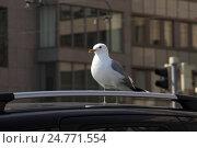 Чайка сидит на крыше машины (2013 год). Стоковое фото, фотограф Юлия Франтова / Фотобанк Лори