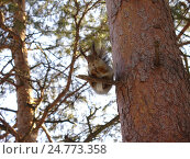 Белка на дереве. Стоковое фото, фотограф Владислав Чеканин / Фотобанк Лори