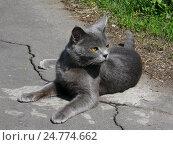 Серый кот лежит на бетонной дорожке. Стоковое фото, фотограф Владислав Чеканин / Фотобанк Лори