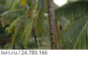 Купить «View of yellow green coconut in the bunch on coconut palm tree with huge leaves», видеоролик № 24780166, снято 26 сентября 2016 г. (c) Данил Руденко / Фотобанк Лори