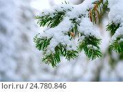 Ветка ели в снегу. Стоковое фото, фотограф Владимир Мигонькин / Фотобанк Лори