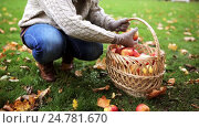 Купить «woman with basket picking apples at autumn garden», видеоролик № 24781670, снято 13 октября 2016 г. (c) Syda Productions / Фотобанк Лори