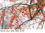 Купить «spindle or euonymus branch with fruits in winter», фото № 24785570, снято 11 ноября 2016 г. (c) Syda Productions / Фотобанк Лори
