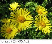 Купить «Дороникум подорожниковый - Doronicum plantagineum», фото № 24795102, снято 28 мая 2016 г. (c) Беляева Наталья / Фотобанк Лори