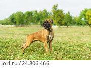 Купить «Молодая собака породы немецкий боксер», фото № 24806466, снято 13 сентября 2015 г. (c) Наталья Гармашева / Фотобанк Лори