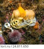 Nudibranchia или морской слизень (Cadlina laevis), Арктика, Россия, Баренцево море. Стоковое фото, фотограф Некрасов Андрей / Фотобанк Лори