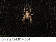 Паук крестовик  (лат. Araneus) из рода аранеоморфных пауков семейства кругопрядов (лат. Araneidae) на паутине в темноте. Стоковое фото, фотограф Наталья Гармашева / Фотобанк Лори