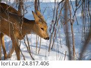 Купить «Дикая коза - косуля», фото № 24817406, снято 5 января 2017 г. (c) Сергеев Игорь / Фотобанк Лори