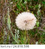 Купить «Козлобородник (Tragopógon) — род однолетних, двулетних и многолетних травянистых растений семейства Астровые», эксклюзивное фото № 24818598, снято 3 июня 2016 г. (c) Александр Щепин / Фотобанк Лори