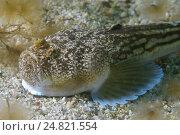 Атлантический звездочет (Uranoscopus scaber), Черное море. Стоковое фото, фотограф Некрасов Андрей / Фотобанк Лори