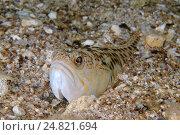 Морская собачка (Parablennius tentacularis) Черное море (2013 год). Стоковое фото, фотограф Некрасов Андрей / Фотобанк Лори
