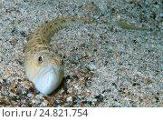 Большой морской дракон (Trachinus draco). Черное море, Крым. Стоковое фото, фотограф Некрасов Андрей / Фотобанк Лори