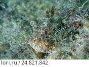 Скорпена (Scorpaena porcus) Стоковое фото, фотограф Некрасов Андрей / Фотобанк Лори