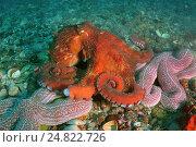 Купить «Гигантский тихоокеанский осьминог  (Enteroctopus dofleini), Японское море», фото № 24822726, снято 20 января 2020 г. (c) Некрасов Андрей / Фотобанк Лори