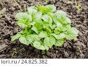 Картофельный куст в саду. Стоковое фото, фотограф Михаил Аникаев / Фотобанк Лори
