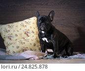 Купить «Виноватый щенок сидит на кровати», фото № 24825878, снято 15 ноября 2019 г. (c) Ирина Козорог / Фотобанк Лори