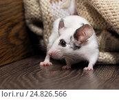 Купить «Мышь в вещах в шкафу», фото № 24826566, снято 14 ноября 2019 г. (c) Ирина Козорог / Фотобанк Лори