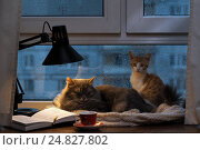 Купить «Cats sleeping in the window. Outside, rain, water drops on the glass. Twilight, included a desk lamp. It should be a cup with a drink, it is an open book. Cozy and warm», фото № 24827802, снято 23 марта 2019 г. (c) Ирина Козорог / Фотобанк Лори