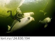 Купить «Ice diving with the Beluga whale (Delphinapterus leucas) in Russian Arctic», фото № 24830194, снято 5 апреля 2009 г. (c) Некрасов Андрей / Фотобанк Лори