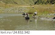 Купить «Wild ducks in pond», видеоролик № 24832342, снято 5 марта 2016 г. (c) Потийко Сергей / Фотобанк Лори