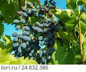 Спелая гроздь синего винограда ожидает поры сбора урожая. Стоковое фото, фотограф Игорь Кириленко / Фотобанк Лори