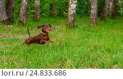 Прыгающая на траве собака. Стоковое фото, фотограф Станислав Краснов / Фотобанк Лори