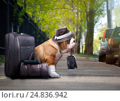 Купить «Nice big dog with a suitcase. The bulldog was holding the bag in his teeth. Funny hat on the dog. The animal is waiting outside», фото № 24836942, снято 18 июня 2018 г. (c) Ирина Козорог / Фотобанк Лори