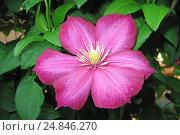 Клематис или Ломонос (Clematis), один крупный цветок. Стоковое фото, фотограф Алексей Гусев / Фотобанк Лори