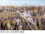 Купить «Полевая трава покрытая инеем. Первые сентябрьские заморозки в Сибири», фото № 24847426, снято 19 сентября 2015 г. (c) Евгений Мухортов / Фотобанк Лори