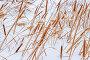 Рогоз узколистный (лат. Typha angustifolia) — многолетнее водное и болотное травянистое растение. Растение на берегу заснеженной реки в зимний период, фото № 24850558, снято 12 января 2017 г. (c) Евгений Мухортов / Фотобанк Лори