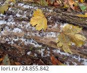 Купить «Первый снег и желтые листья», фото № 24855842, снято 8 декабря 2016 г. (c) DiS / Фотобанк Лори