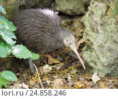 Купить «Sparky a North Island Brown Kiwi, Apteryx mantelli, with only one leg after the other had been amputated after it was caught in a gin trap. Whangarei Native...», фото № 24858246, снято 20 декабря 2016 г. (c) age Fotostock / Фотобанк Лори