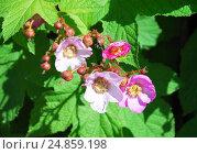 Купить «Малина душистая, или малиноклён (Rubus odoratus)», фото № 24859198, снято 5 июня 2012 г. (c) Алёшина Оксана / Фотобанк Лори