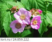 Купить «Малина душистая, или малиноклён (Rubus odoratus)», фото № 24859222, снято 5 июня 2012 г. (c) Алёшина Оксана / Фотобанк Лори