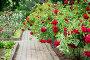 Куст красных роз в саду, фото № 24863042, снято 19 июня 2015 г. (c) Мурина Ольга / Фотобанк Лори