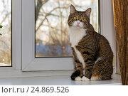 Купить «Grey cat sitting on the window», фото № 24869526, снято 7 января 2017 г. (c) Okssi / Фотобанк Лори