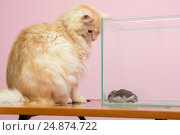 Купить «Кошка смотрит на хомяка в аквариуме», фото № 24874722, снято 15 января 2017 г. (c) Иванов Алексей / Фотобанк Лори