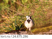 White Wagtail, Beautiful black and white bird. Стоковое фото, фотограф Наталия Скоморохова / Фотобанк Лори