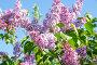 Цветущая сирень в саду весной, фото № 24881358, снято 14 мая 2016 г. (c) Дудакова / Фотобанк Лори