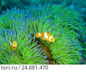 Рыба-клоун, остров Бали, Ловина риф, Индонезия. Стоковое фото, фотограф Александр Огурцов / Фотобанк Лори