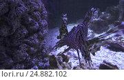 Купить «Red lionfish in the saltwater aquarium stock footage video», видеоролик № 24882102, снято 11 января 2017 г. (c) Юлия Машкова / Фотобанк Лори