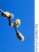 Купить «Цветущая верба на фоне неба», фото № 24884150, снято 5 мая 2013 г. (c) Евгений Ткачёв / Фотобанк Лори