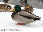 Купить «Дикая утка, зимующая в городе на пруду», фото № 24894618, снято 14 декабря 2016 г. (c) Татьяна Егорова / Фотобанк Лори