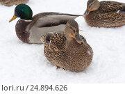 Купить «Дикая утка, зимующая в городе на пруду», фото № 24894626, снято 14 декабря 2016 г. (c) Татьяна Егорова / Фотобанк Лори
