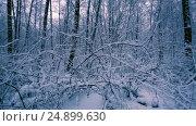 Купить «Snowy branches in forest.», видеоролик № 24899630, снято 14 декабря 2016 г. (c) Андрей Армягов / Фотобанк Лори