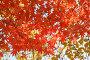 Красные листья дальневосточного клена осенью во время листопада на солнце, фото № 24908566, снято 11 ноября 2016 г. (c) Ольга Липунова / Фотобанк Лори