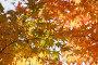 Осенние листья клена в солнечном свете, фото № 24908570, снято 11 ноября 2016 г. (c) Ольга Липунова / Фотобанк Лори