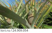Купить «View of pineapple plants farm in summer season against blue sky, Mauritius Island», видеоролик № 24909054, снято 3 ноября 2016 г. (c) Данил Руденко / Фотобанк Лори