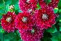 Красные георгины в саду (лат. Dаhlia), фото № 24910138, снято 9 августа 2015 г. (c) Ольга Сейфутдинова / Фотобанк Лори