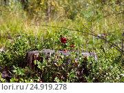 Брусника в лесу. Стоковое фото, фотограф Алексей Аскаров / Фотобанк Лори